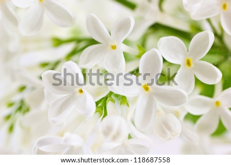 Background with branch of white  lilac. Syringa vulgaris. Shallow depth of field.