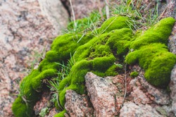 Background with bright green moss and natural rough granite stone, with red and black fragments of rock rocks, solid colorful texture. Close-up photo. Nature, outdoors. Horizontal photo.