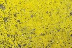Background with bright yellow moss on asphalt