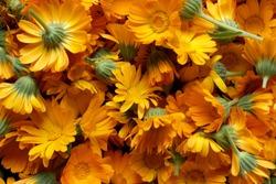 Background with Calendula. Medicinal herbs. Summer