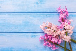 Background  with fresh  pink flower on blue  painted wooden planks. Selective focus. Place for text.