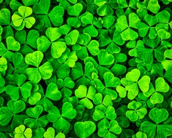 Background with green clover leaves for Saint Patrick's day. Shamrock as a symbol of good luck.