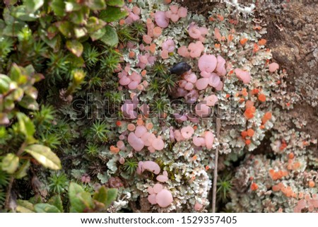 Background with selective focus. Background with selective focus. Beautiful mossy rainforest floor, pink fungi close up, macro. Natural forest background of jungle fen for wallpaper with copy space #1529357405