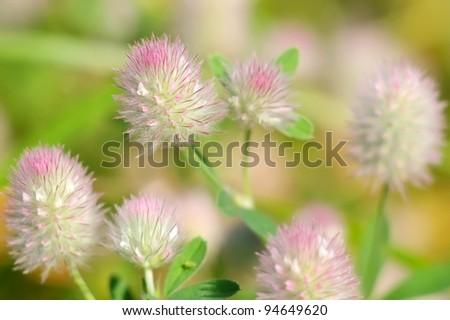 Background with wild flowers. Trifolium arvense.