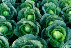 Background witn Big cabbage field. Ripe harvest on a Farm or Greenhouse.