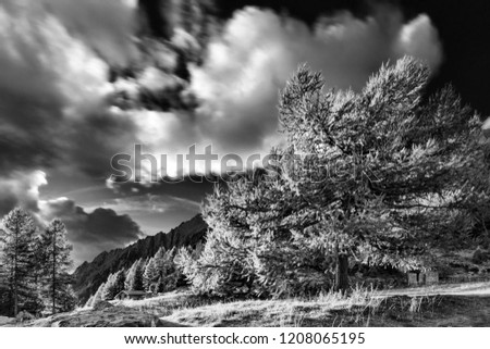 Backlight in larch forest, Alps, Italy