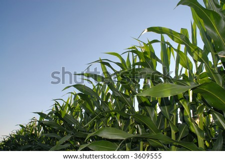 Backlighted young Maize plants viewed from below