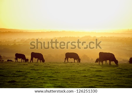 Backlit Cattle Grazing In A Field At Sunset.