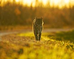 Backlit Florida bobcat out on the hunt for dinner