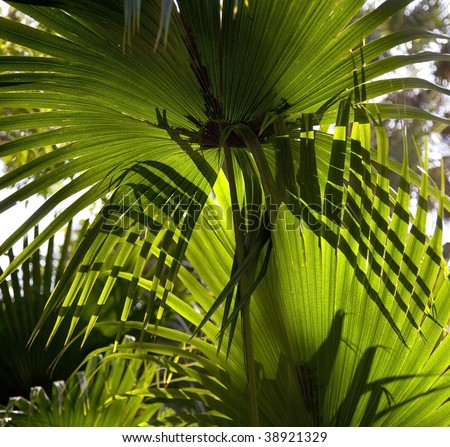 Backlit fronds of saw palmetto plant in Florida.  Lighting creates interesting patterns and shadows on fronds.