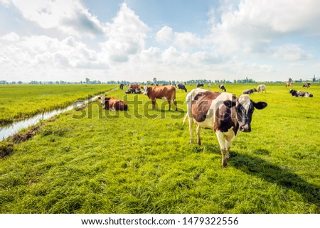 Backlit image of grazing and ruminating cows with transponders for identifiaction in a Dutch polder.  The photo was taken on a cloudy day in summertime near the village of Langerak, Alblasserwaard. #1479322556