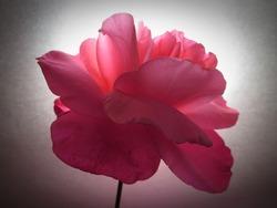 Backlit photo of pink rose