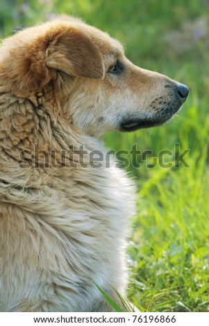 Backlit profile of sad red mongrel dog against blurred green grass with selective focus