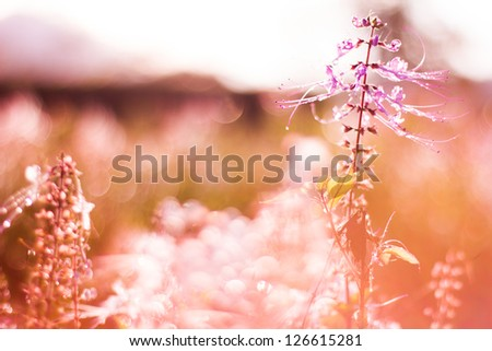 Backlit purple Kumis kucing with Rim Light,shallow dof,soft and dreamy  nature background
