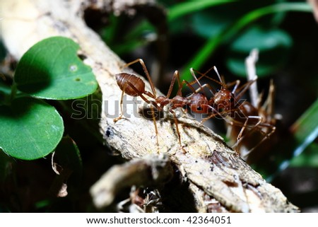 Backlit Red Ant on a stalk of leaves
