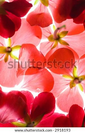 Backlit Red Flower Petals Background