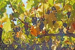 Backlit view of ripe, purple wine grapes hanging on the vine at a vineyard in the Napa Valley near Calistoga, California