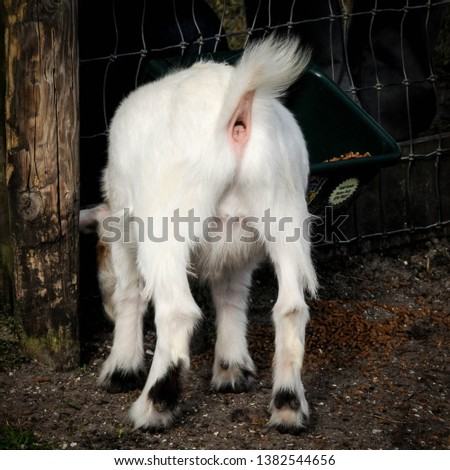 Backside of a pygmy goat. Picture was taken in the fall at a north east Florida farm.