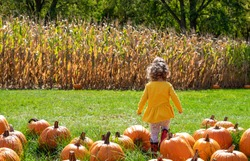 Backview of toddler girl walking through a pumpkin patch in the countryside on an autumn day