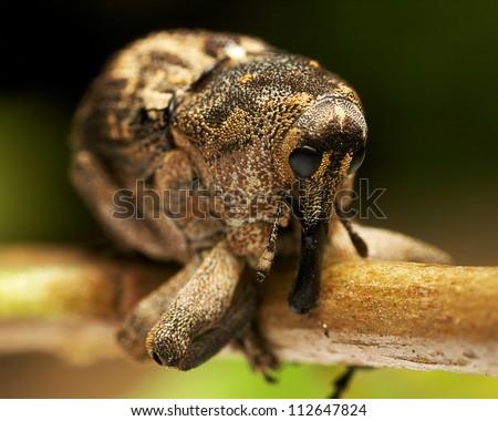 Backward-nosed Weevil sitting on a twig