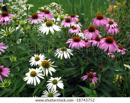 backyard garden cone flowers blooming with vibrant colors