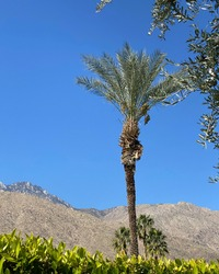 Backyard view of palm trees in Palm Springs