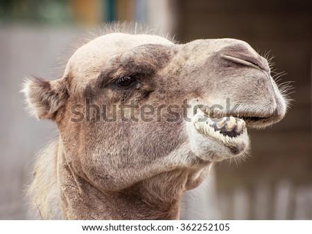 Bactrian camel (Camelus bactrianus) closeup crazy portrait. Animal face.