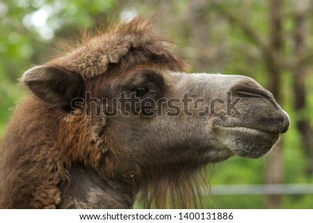 Bactrian camel (Camelus bactrianus). Domesticated animal. #1400131886
