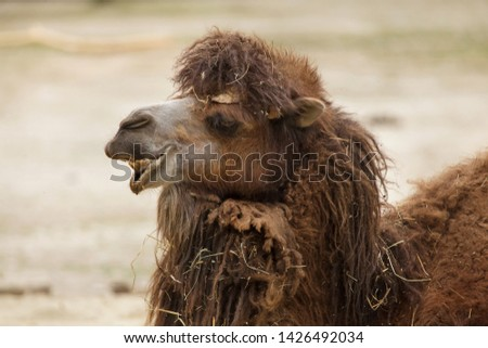 Bactrian camel (Camelus bactrianus). Domesticated animal. #1426492034
