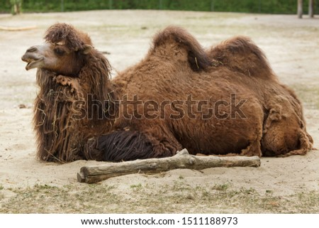 Bactrian camel (Camelus bactrianus). Domesticated animal. #1511188973