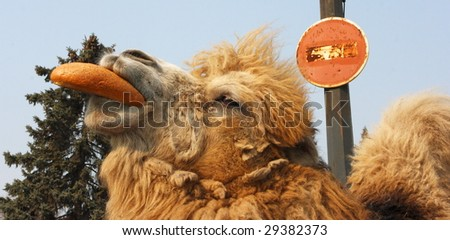 Bactrian camel chewing  long loaf against a blue sky