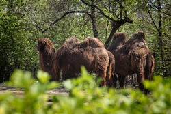 Bactrian camels family walks around their paddock and thinks about various activities. domestic Bactrian camel, is a large even-toed ungulate native. Pilgrimage animals. Transport across the desert.