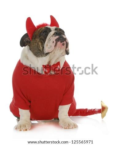 bad dog  - english bulldog dressed up like a devil looking up isolated on white background