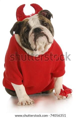 bad dog - english bulldog dressed up like a devil on white background