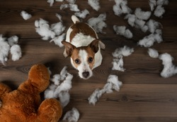 Bad dog. Jack Russell Terrier cut, spoils a soft toy. Educating pet. Funny animals