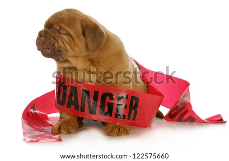 bad puppy - dogue de bordeaux puppy wrapped up in danger tape on white background - 4 weeks old