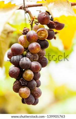 bad ripening grape clusters on the vine