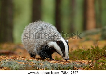 badger in forest  animal in...