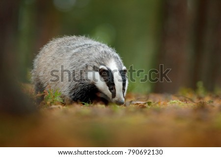 badger in forest  animal nature ...