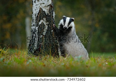 Badger in forest, animal nature habitat, Germany. Wildlife scene. Wild Badger, Meles meles, animal in wood. European badger, autumn pine green forest. Mammal environment, rainy day. Rain forest. - Shutterstock ID 734972602