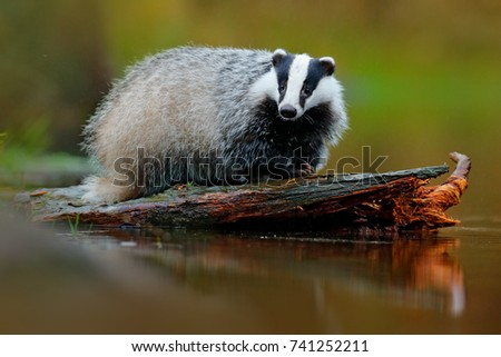 badger in lake water  animal...