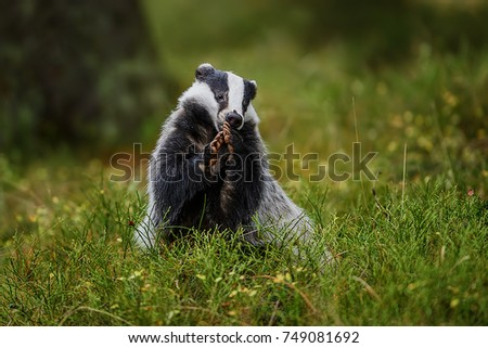 badger running in forest ...