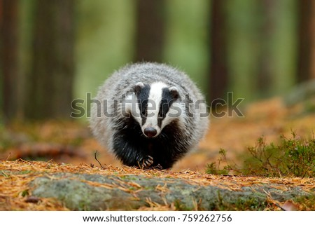 badger walk in forest  animal...