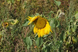 Badly tattered sunflower, caused by drought and wind, some yellow ray leaves are no longer available. An example of how weather can affect plants.