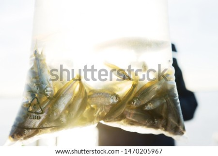 Bag with live Little Mojarra Fishes for bait  #1470205967