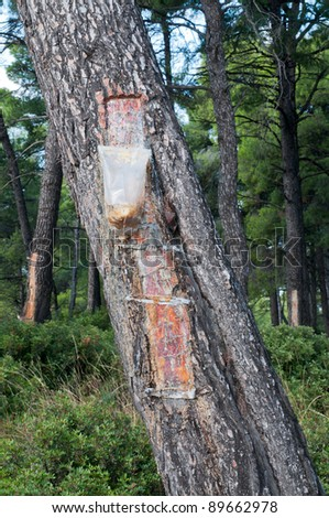 Bags attached to a pine tree collecting  Resin