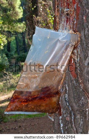 Bags attached to a pine tree collecting the Resin