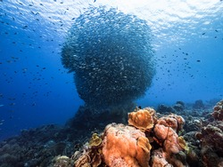 Bait ball school of fish in turquoise water of coral reef in Caribbean Sea Curacao