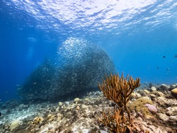 Bait ball, school of fish in turquoise water of coral reef in Caribbean Sea, Curacao with coral and sponge