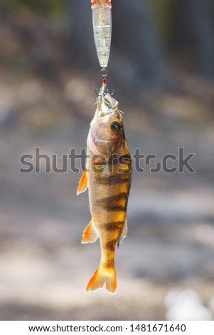 Bait for perch. Hooked fresh fish. Fishing on wild lake. Good catch #1481671640